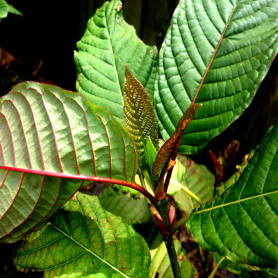 Buy Maeng Da Thai Kratom Hutchinson