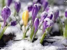 crocuses-in-snow - Copy